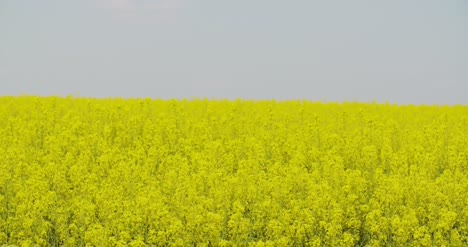 Rolling-Hills-Covered-With-Canola-Plants-In-Bloom