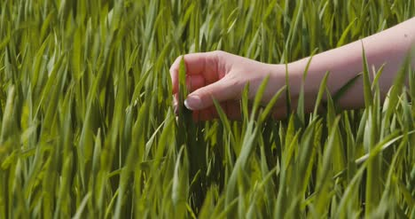 Agriculture-Woman-Hand-Touching-Wheat-Crops-At-Farm-4