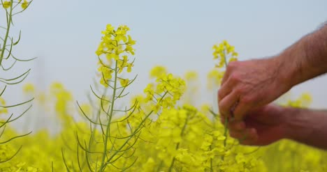 Canola-Field-Or-Rapeseed-Field-Agriculture-2
