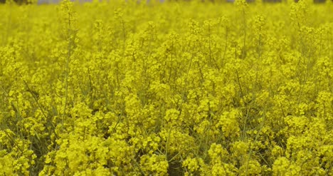 Canola-Field-Or-Rapeseed-Field-Agriculture-3
