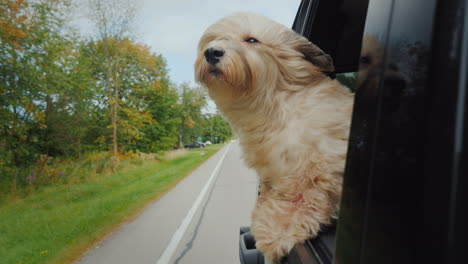 The-Dog-Looks-Out-Of-The-Car-On-The-Move-A-Strong-Wind-Coolly-Presses-The-Fur-On-Her-Face