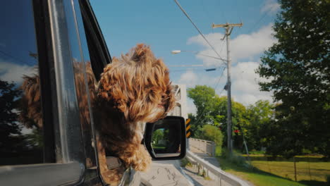 Curly-Brown-Dog-Looks-Out-Of-The-Car-Window-Traveling-Pet