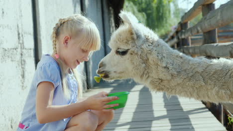 The-Girl-Is-Feeding-A-Cool-Lamp-On-The-Farm-Lama-Puffs-A-Long-Neck-Into-The-Fence-Slot-4k-Video