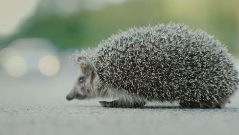 Danger-To-Wild-Animals-Little-Hedgehog-On-The-Road-In-The-Background-A-Car-Is-Passing-By-4k-Video