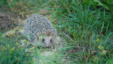 A-Little-Hedgehog-In-The-Grass-Looks-At-The-Camera-Sniffs-His-Nose-4k-Video