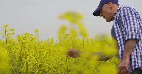 Farmer-Examining-And-Smelling-Rapeseed-Blossom-At-Field-9