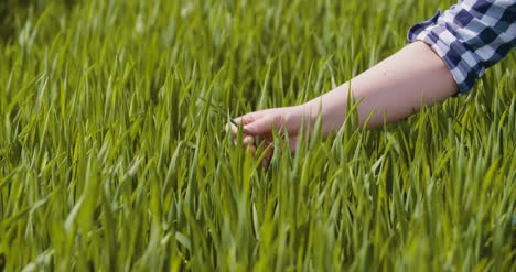 Agriculture-Woman-Hand-Touching-Wheat-Crops-At-Farm-6