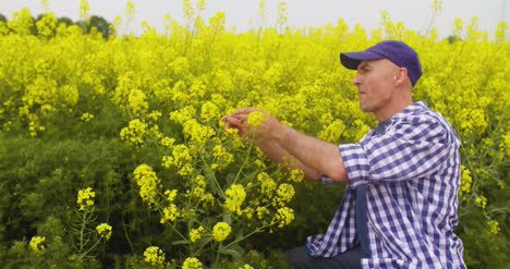 Farmer-Examining-And-Smelling-Rapeseed-Blossom-At-Field-2
