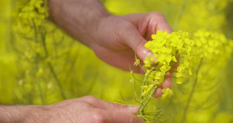 Canola-Field-Or-Rapeseed-Field-Agriculture-4