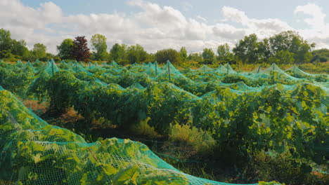 Vineyard-With-Ripe-Grapes-Shelter-Net-To-Protect-The-Crop-From-Birds