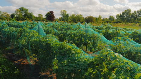 Grapes-Ripen-Sheltered-Network-Protection-Against-Birds