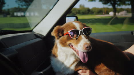 The-Dog-Travels-With-The-Owner-In-The-Car-The-Pet-Is-Wearing-Sunglasses
