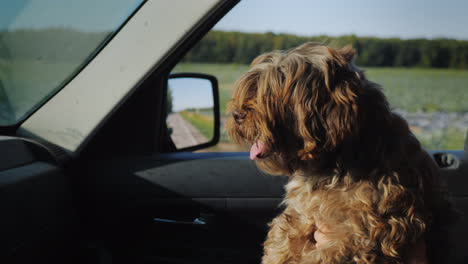 A-Small-Curly-Dog-Rides-On-The-Owner-s-Lap-In-A-Car-Looks-Ahead-Out-The-Window