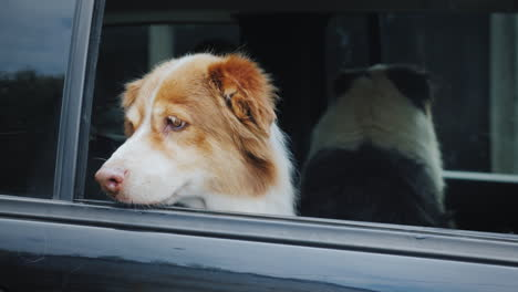Two-Shepherds-Waiting-For-Their-Owner-In-The-Car