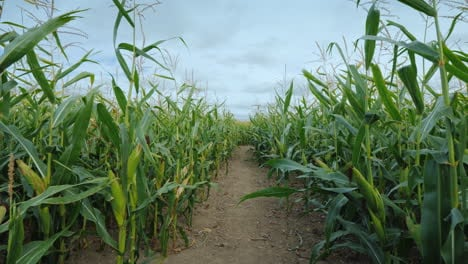 American-Style-Autumn-Fun-A-Corn-Maze-Made-On-A-Farm-Field