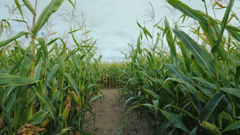 Walk-Down-The-Corridor-In-High-Corn-Labyrinth-Of-Corn-Plants-On-Halloween-Steadicam-Shot
