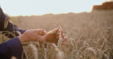 Agriculture-Farmer-Checking-Wheat-Grains-In-Hands