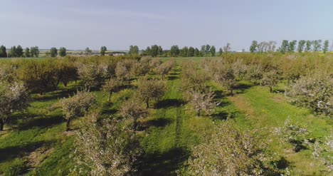 Apple-Orchard-In-August-Aerial-Shoot