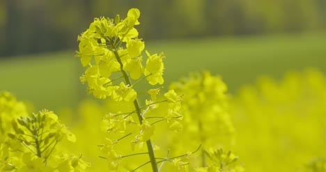 Bio-Fuel-Production-Rapeseed-Field-Close-Up-View