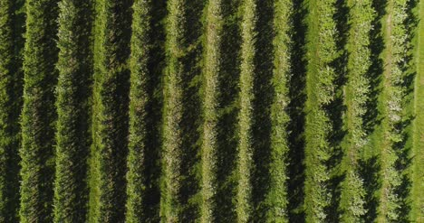 Apple-Orchard-In-August-Aerial-Shoot-8