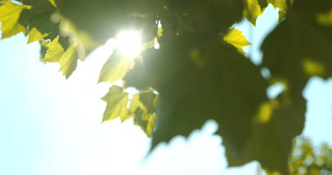 Sun-Light-Shining-Through-Leaves-1