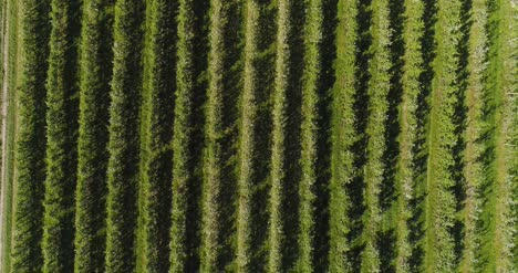 Apple-Orchard-In-August-Aerial-Shoot-9