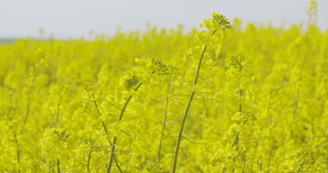 Bio-Fuel-Production-Rapeseed-Field-Close-Up-View-1