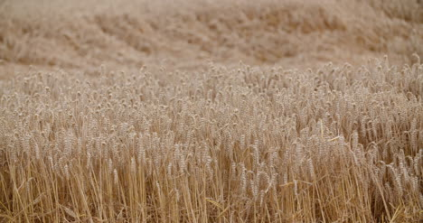 Flying-Over-Wheat-Field-Agriculture