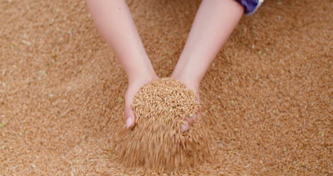 Young-Female-Farmer-Examining-Wheat-Grains-2
