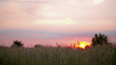 Wheat-Against-Sunset-At-Dawn