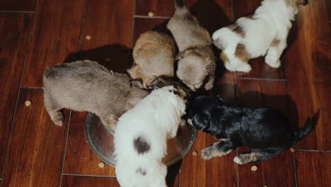 Several-Small-Puppies-Eat-Food-From-A-Squeak-That-Stands-On-The-Floor