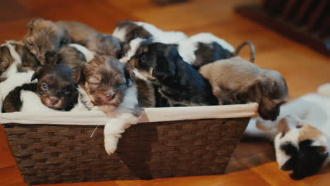 A-Box-Of-Cute-Little-Puppies-On-The-Floor