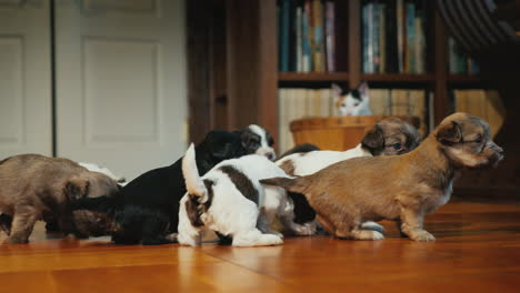 Funny-Puppies-Play-On-The-Floor-In-The-Room-The-Cat-Is-Watching-Them