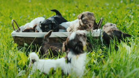Basket-Of-Happiness---Little-Puppies-On-A-Lush-Green-Lawn