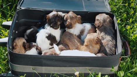 A-Suitcase-Full-Of-Little-Jolly-Puppies-Lies-On-The-Green-Grass