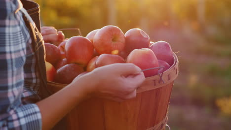 A-Farmer-Holds-A-Basket-With-Ripe-Red-Apples-Small-Garden-And-Organic-Products-Concept