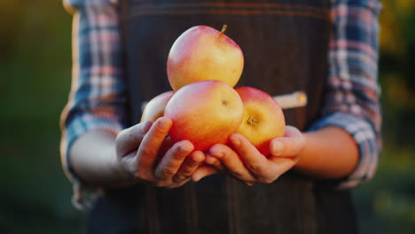 Ripe-Apples-From-His-Garden-Farmer-s-Hands-With-Several-Red-Apples