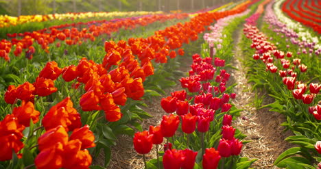 Tulips-On-Agruiculture-Field-Holland-23