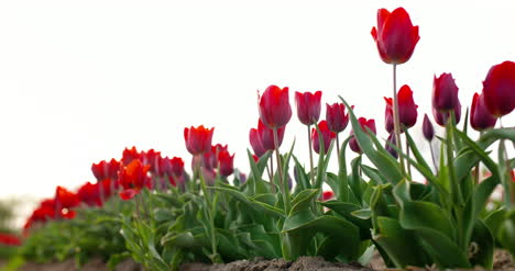 Tulips-On-Agruiculture-Field-Holland-4