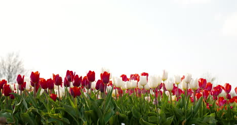 Tulips-On-Agruiculture-Field-Holland-5