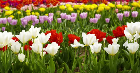 Tulips-On-Agruiculture-Field-Holland-47