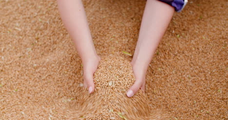 Young-Female-Farmer-Examining-Wheat-Grains-3