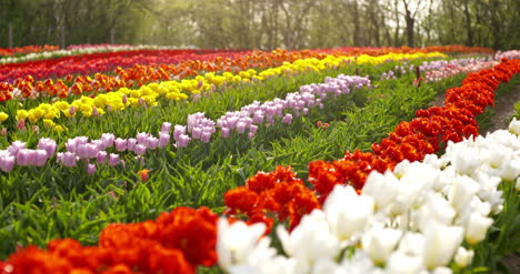 Tulips-On-Agruiculture-Field-Holland-70