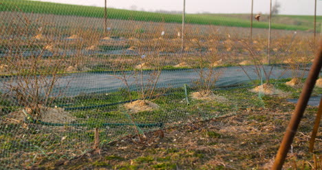 Agriculture-Blueberry-Bushes-Behind-The-Grid