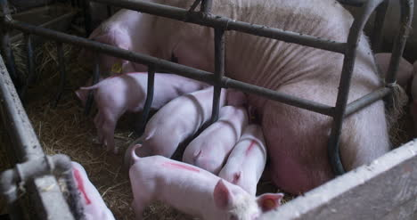 Pigs-On-Livestock-Farm-Pig-Farming-Young-Piglets-At-Stable-45