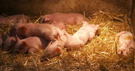 Pigs-On-Livestock-Farm-Pig-Farming-Young-Piglets-At-Stable-8