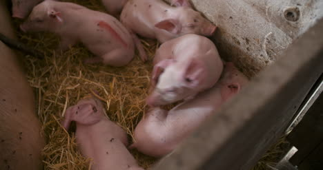 Pigs-On-Livestock-Farm-Pig-Farming-Young-Piglets-At-Stable-10