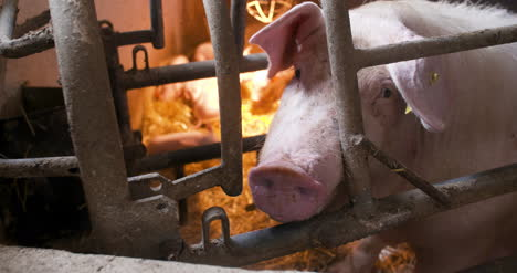 Pigs-On-Livestock-Farm-Pig-Farming-Young-Piglets-At-Stable-15