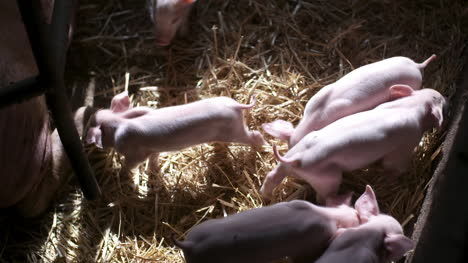Pigs-On-Livestock-Farm-Pig-Farming-Young-Piglets-At-Stable-20