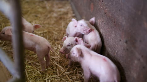 Pigs-On-Livestock-Farm-Pig-Farming-Young-Piglets-At-Stable-22